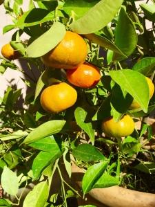My mandarin tree