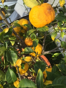 My friend's backyard Yuzu fruit tree, San Francisco Bay Area