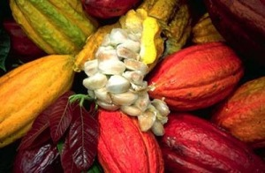 Cacao bean pods. Photo courtesy of Fair Trade Judaica