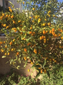 A kumquat tree in front of my house.